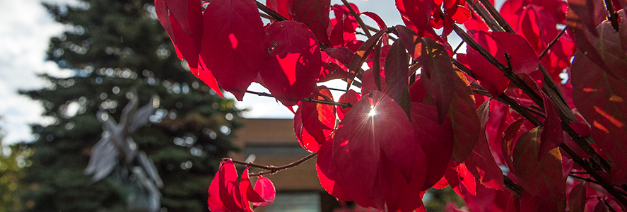 Red leaves in the sunlight
