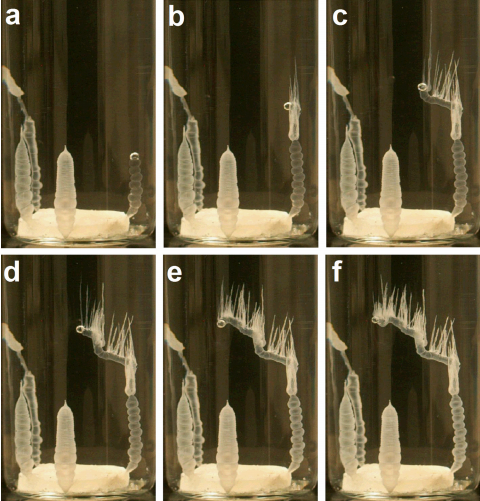 Time-lapse image sequence of a precipitation structure of the morphology two type (rightmost precipitation tube, rtube = 649 m) having hair formation. Published in Colloids and Surfaces A, Nov. 2015.